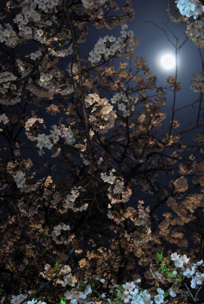 朧月夜に咲く