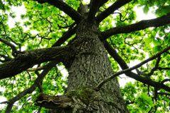 カシワの巨木