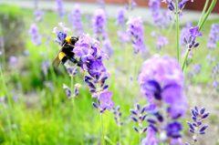 ラベンダーに食らいつく蜂に食らいつくオレ