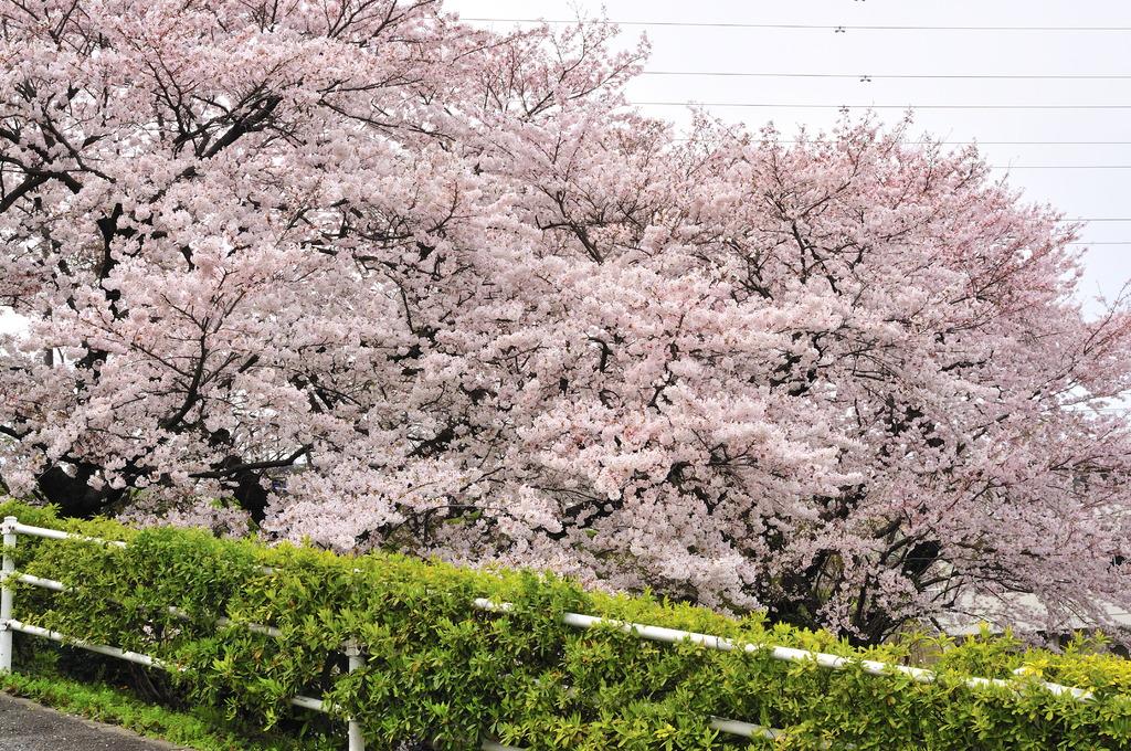 病院の裏に咲く桜