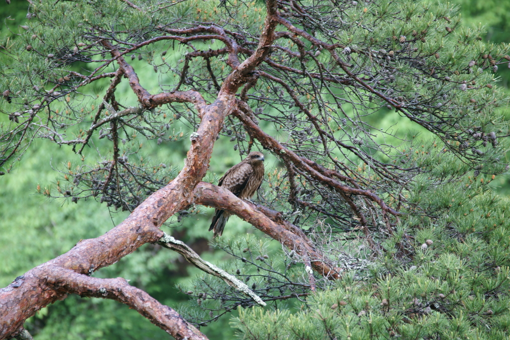 野生の大鷹