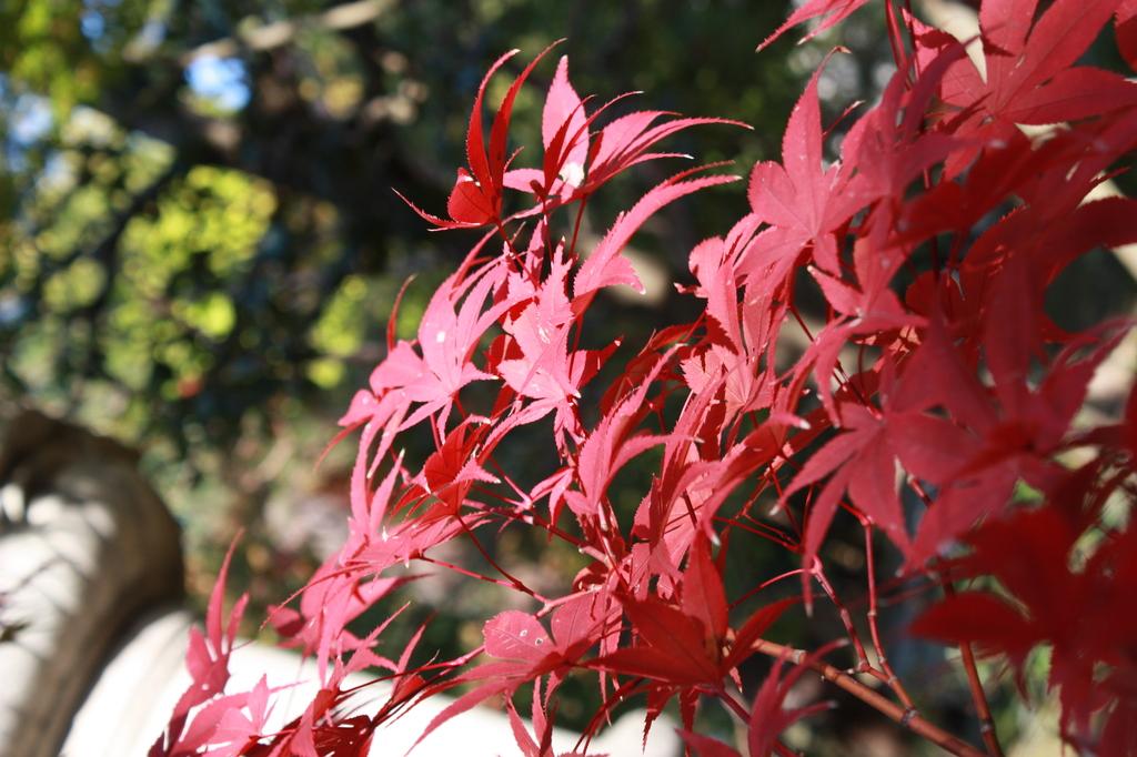 京都1 やっと見つけた赤い紅葉