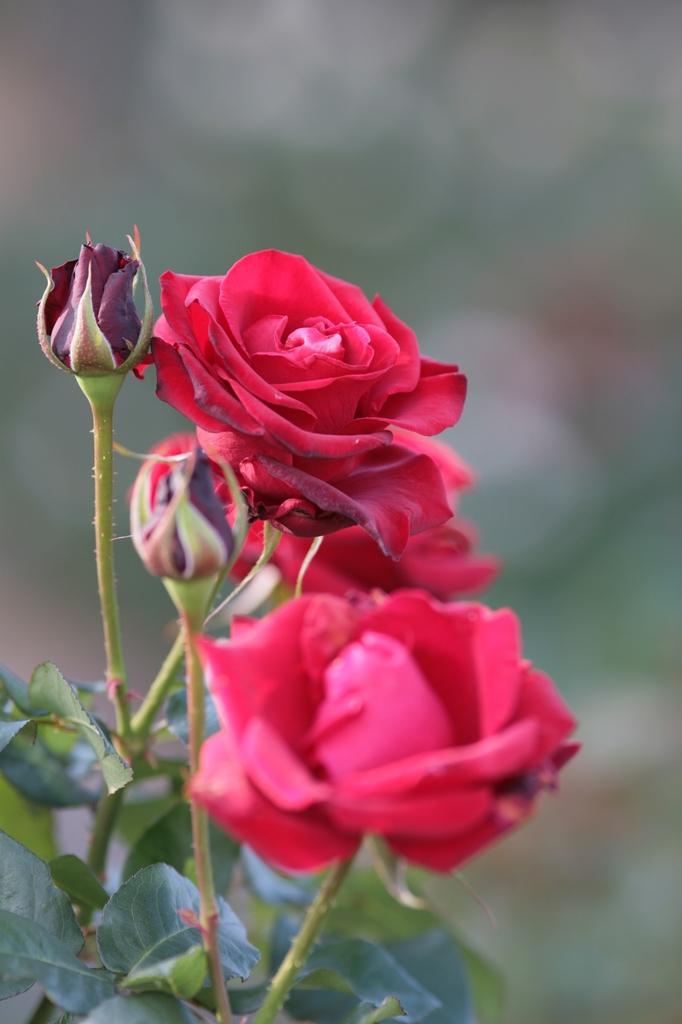 深紅の四季バラ