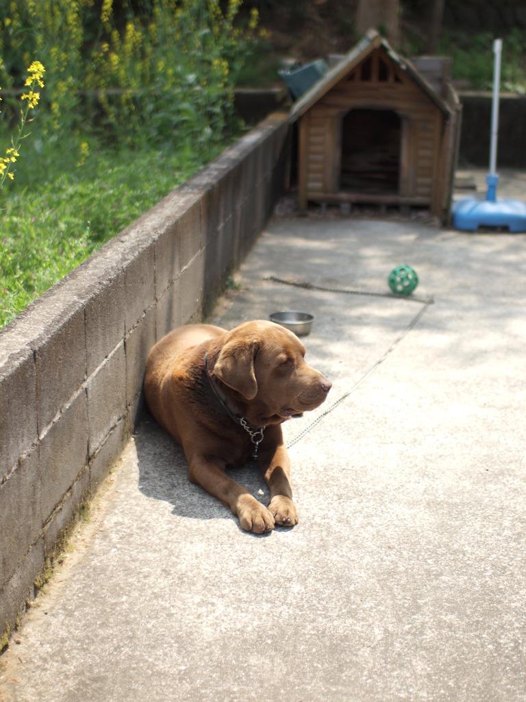 老犬ロビン