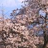 桜に浮かぶ