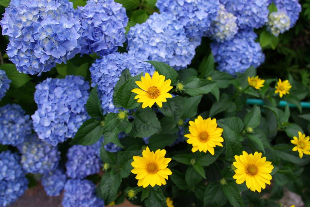 黄色い花と紫陽花
