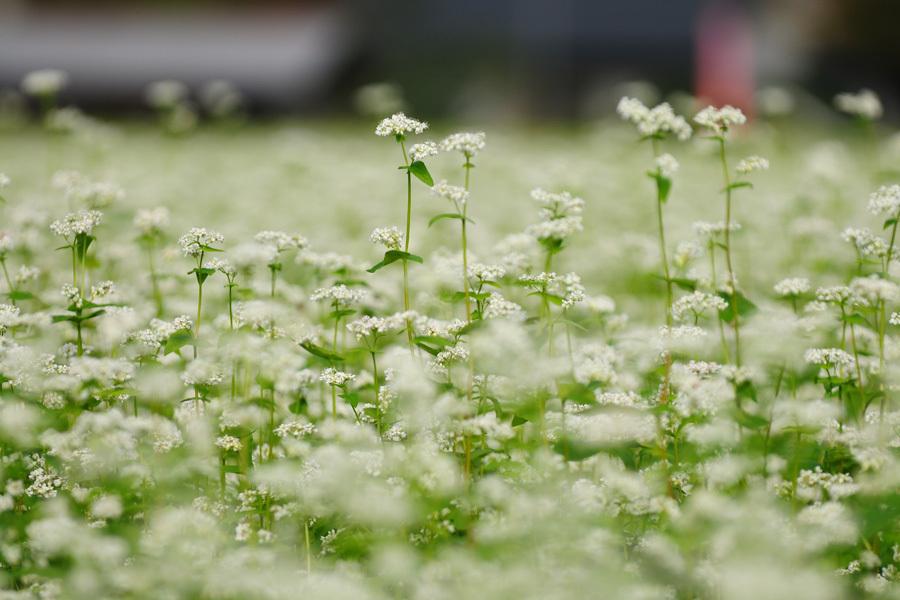 そばの花満開
