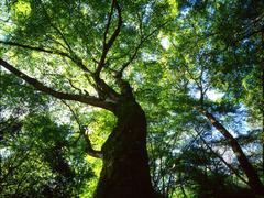 大きなもみじの木