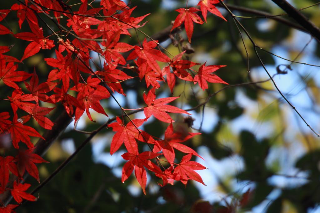 岳切渓谷の紅葉