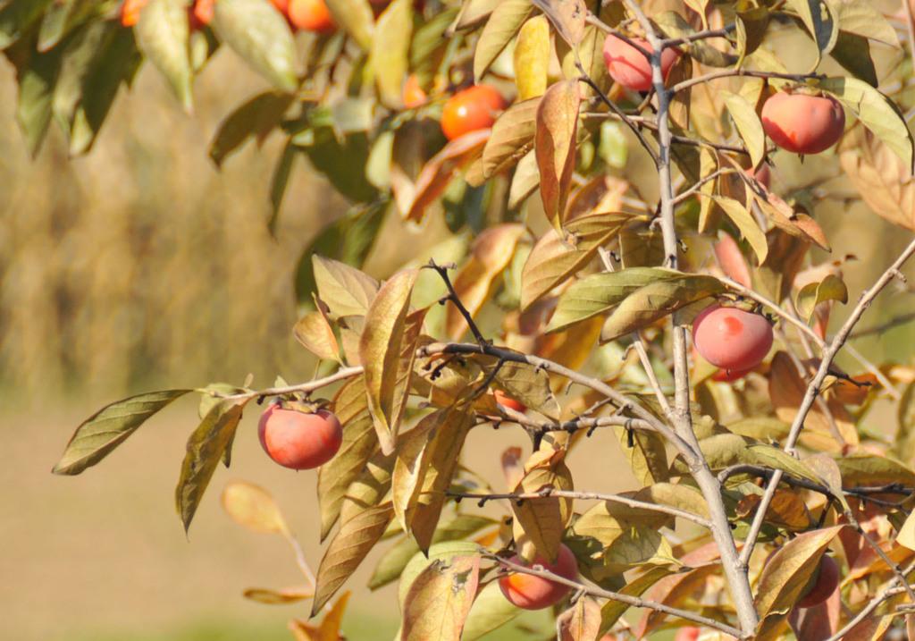 真秋の果実