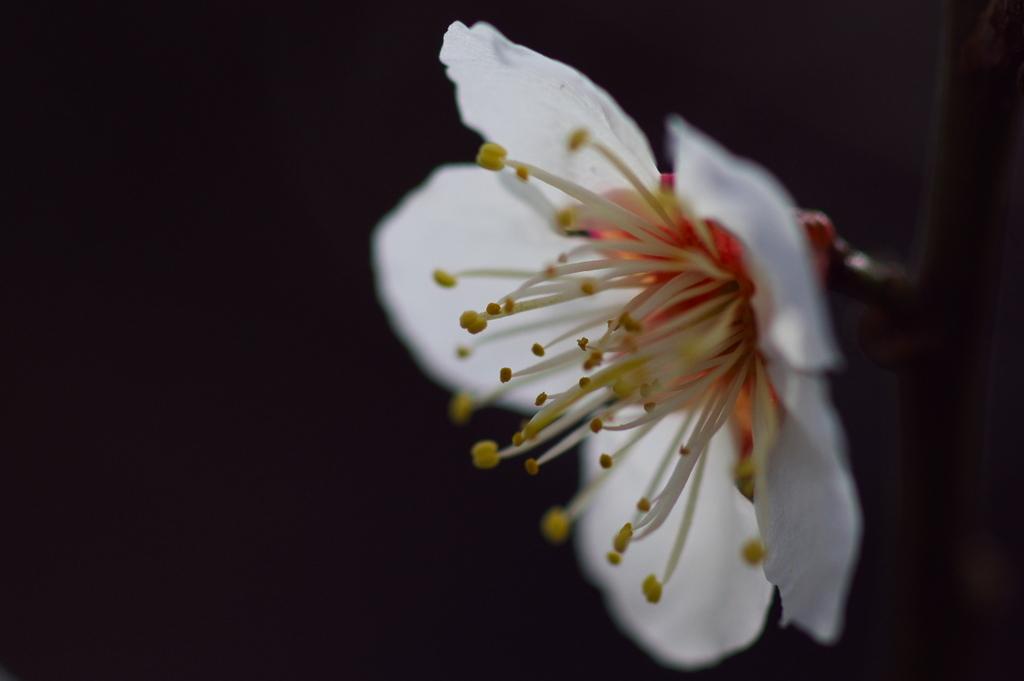 an ume blossom