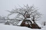 雪桜と合掌造り