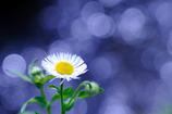 キラキラ春紫苑