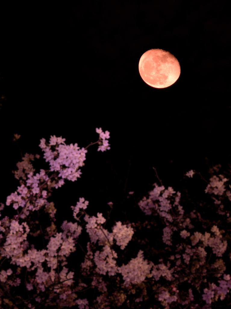 残り桜に遅れ月