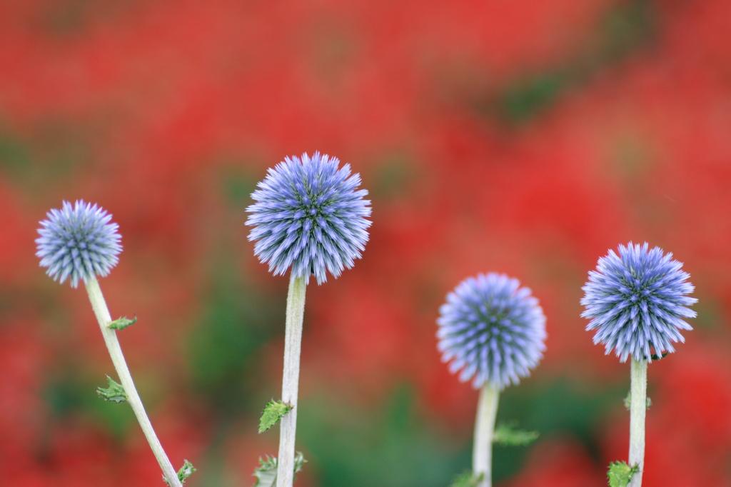 幻の花ヒゴタイ