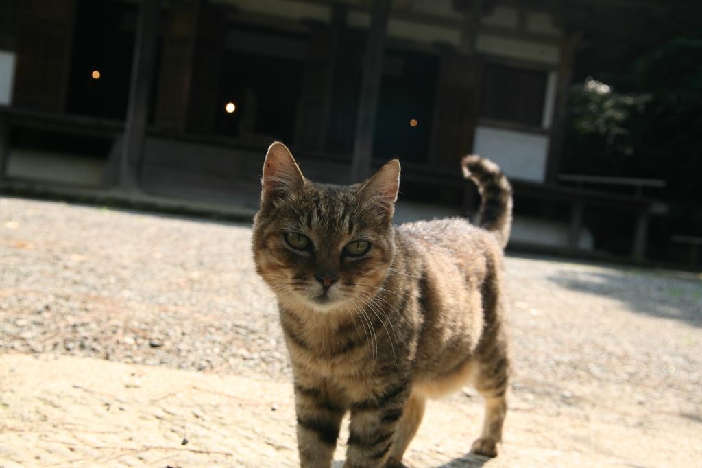 お出迎え猫