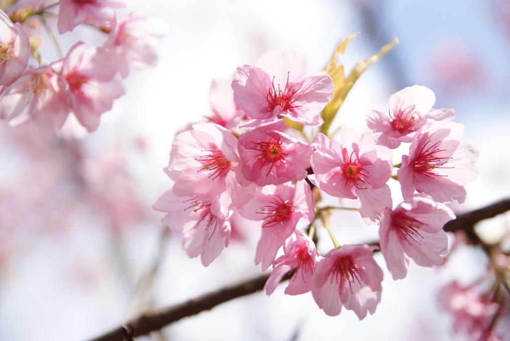 カワヅザクラ(河津桜)