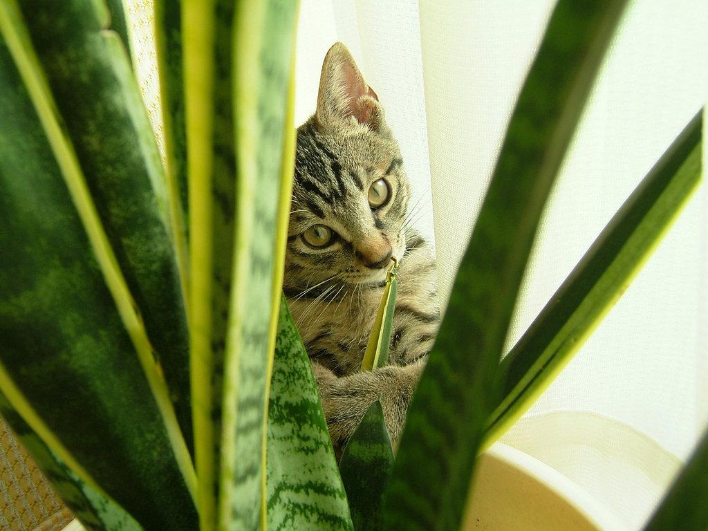 サンセベリアと子猫