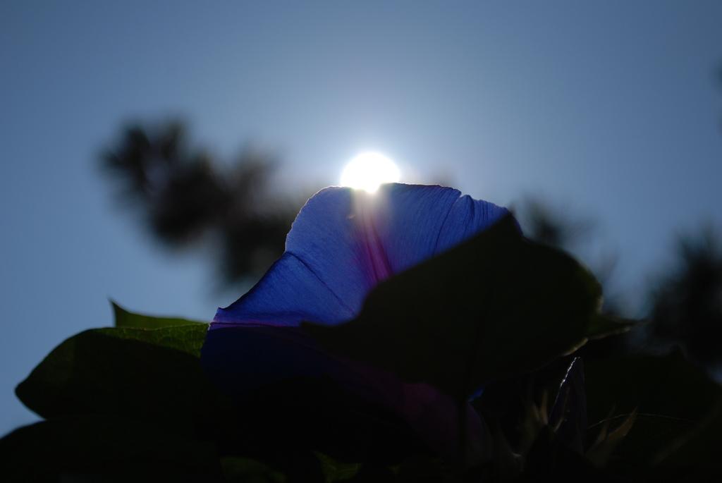 太陽とアサガオ