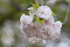 2018 桜 4