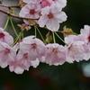 2016 桜 4