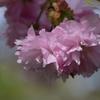 2016  桜 6