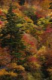 白山スーパー林道の紅葉1