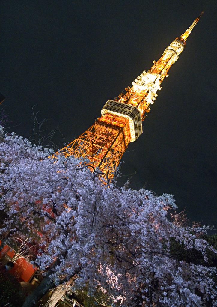 夜桜を見下ろして