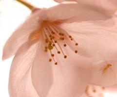 桜 ~ 花惑い