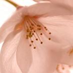 CANON Canon EOS Kiss Digital Xで撮影した植物(桜 ~ 花惑い)の写真(画像)