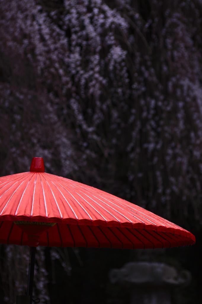 桜の下でお茶