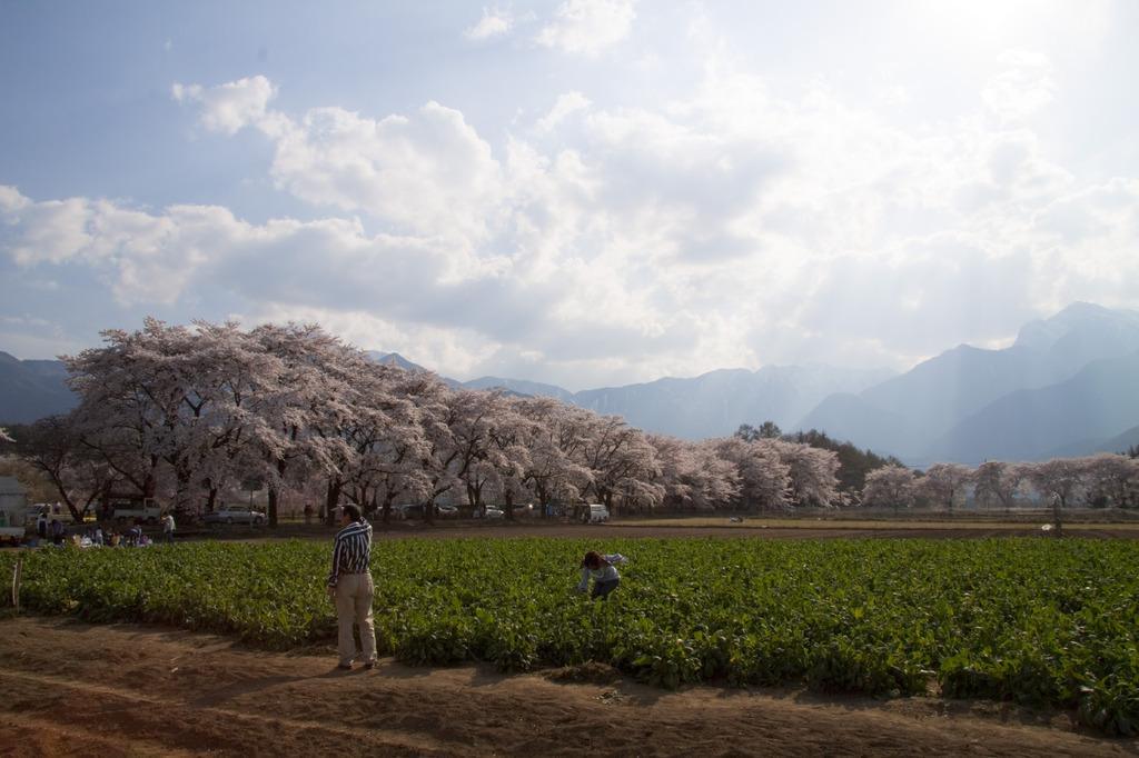 桜の下で、菜の花摘み。