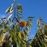 CANON Canon EOS 40Dで撮影した植物(クリ)の写真(画像)