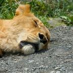 CANON Canon EOS 40Dで撮影した動物(爆睡ライオン)の写真(画像)
