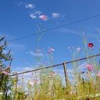 CANON Canon EOS 40Dで撮影した植物(コスモス)の写真(画像)