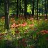 CANON Canon PowerShot G9で撮影した植物(曼珠沙華)の写真(画像)