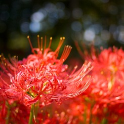CANON Canon EOS 40Dで撮影した植物(曼珠沙華)の写真(画像)
