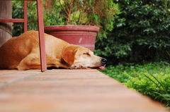 カンボジアの犬