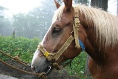 富士山の馬