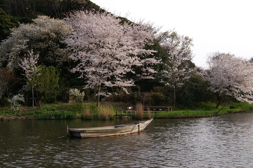 庭園の池と小舟と桜の絵