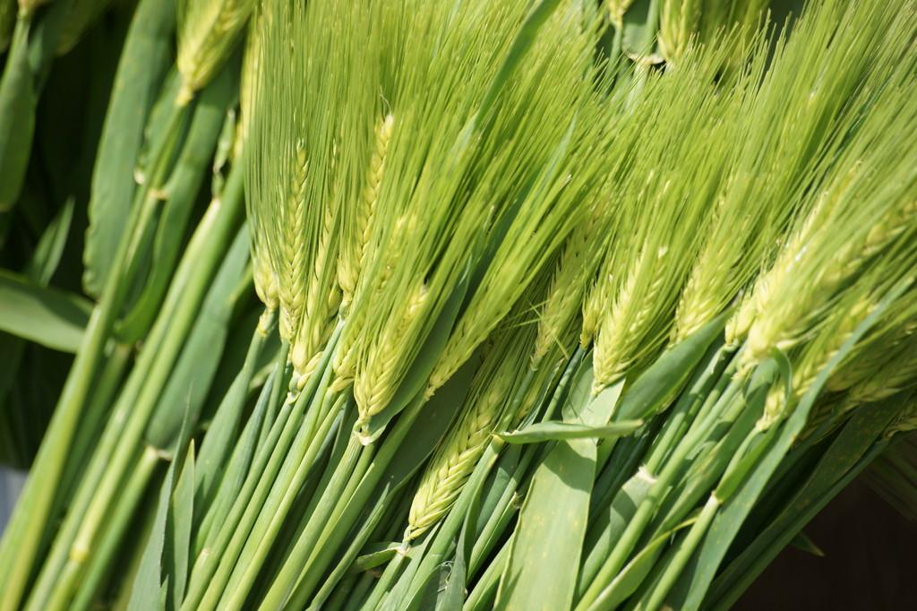 若麦 -1