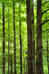 カツラの森