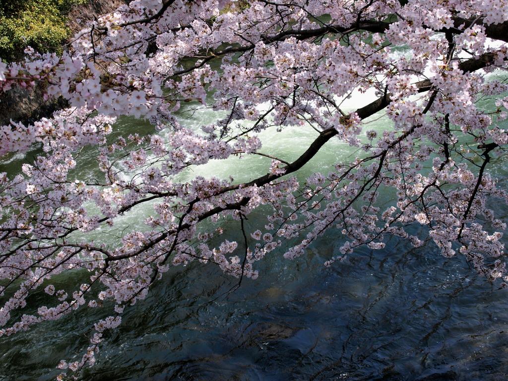 平安神宮手前、疎水と桜