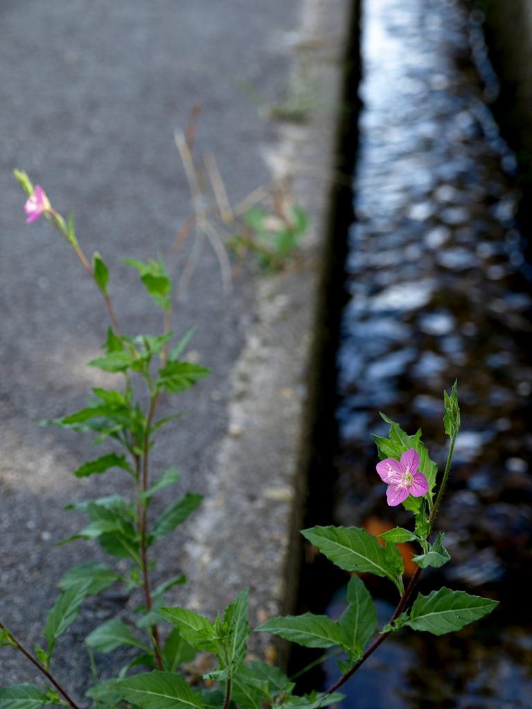 ろぼうの花