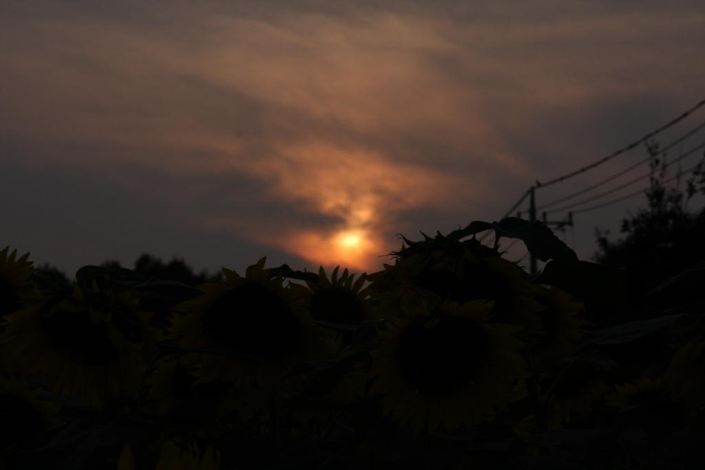 ひまわりの夕日