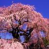 枝垂れの春。
