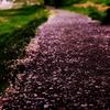 sakura-road。