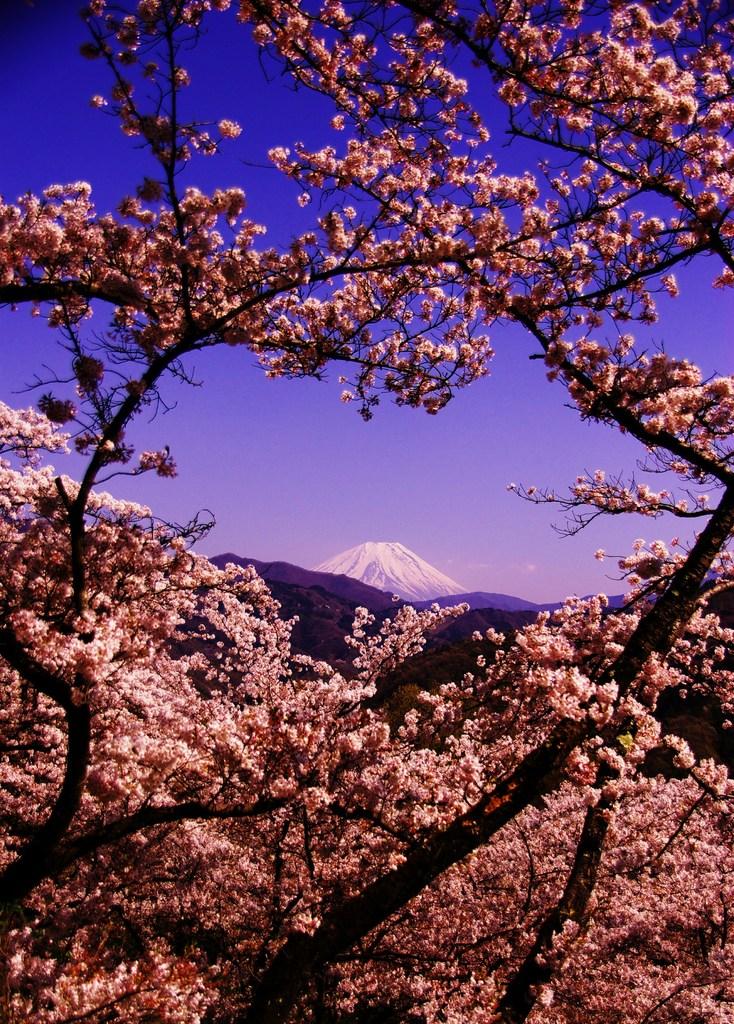桜・JAPANⅡ。