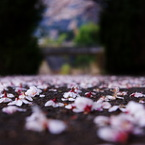 PENTAX PENTAX K10Dで撮影した植物(桜道。)の写真(画像)
