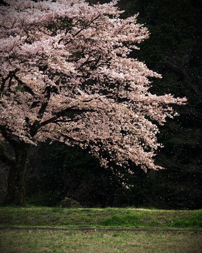 記憶に残る桜